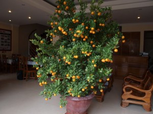 Tet Comquat Tree